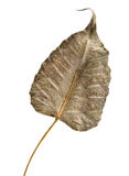Dry leaf. Isolated on white background Stock Images