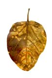 Dry Leaf Isolated on White with Clipping Path Royalty Free Stock Photos