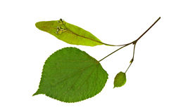 Dry  leaf of linden tree Stock Photography