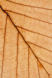 Dry leaf macro showing veins texture Stock Image