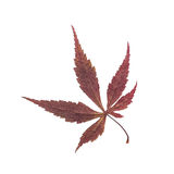 Dry leaf with maple. Stock Images