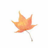 Dry leaf with maple. Stock Image
