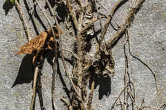 Dry leaf on old stone wall as background. Closeup of a dry leaf and a creeper on old stone wall as background Royalty Free Stock Photography