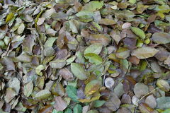 Dry leaf that pile up Stock Images