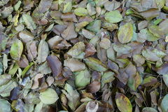 Dry leaf that pile up Stock Image