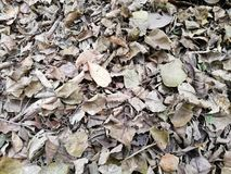 Dry leaf in rain forest of thailand Stock Images