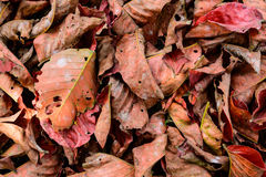 Dry leaf Red pattern and texture. Background Royalty Free Stock Photo