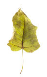 Dry leaf, showing  delicate pattern of veins. Royalty Free Stock Photography