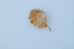 Dry leaf on the snow Stock Image