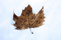 Dry leaf on the snow Royalty Free Stock Image