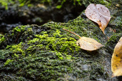 Dry leaf on stone with green mos Stock Images