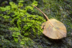 Dry leaf on stone with green mos Royalty Free Stock Image