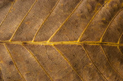 Dry leaf structure. Dry autumn leaf vein structure as background stock photo