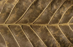 Dry leaf structure underside. Dry autumn leaf vein structure underside as background royalty free stock image