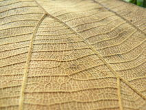Dry leaf texture background. Close up of brown line detail on dry leaf texture background, Photography from natural real leaves Stock Image