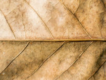 Dry leaf texture Stock Images