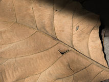 Dry leaf texture for pattern. Background or wall paper Stock Images