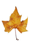 Dry leaf tree in autumn. Dry leaf in autumn tree trimmed and isolated on a white background Royalty Free Stock Images
