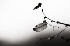 Dry leaf. A dry leaf on a tree branch stock image