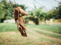 Dry leaf on tree. Close up royalty free stock photography