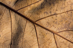 Dry leaf veins closeup Royalty Free Stock Photo