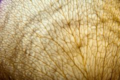 Dry leaf vessels structure Stock Image
