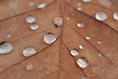 Dry leaf with water drops. Close up Royalty Free Stock Photos