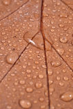 Dry leaf with water drops Stock Photo