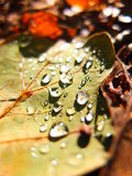 Dry leaf with watter drops Royalty Free Stock Photo