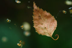 Dry leaf in the web of spider Royalty Free Stock Images