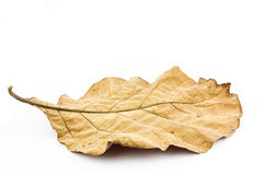 Dry leaf on white background Stock Images