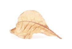 Dry leaf  on white background. Stock Photos