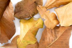 Dry leaf on white backgrounds royalty free stock photo