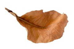 Dry leaf on white backgrounds stock photography
