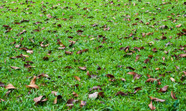 Dry leaf on yard. Dry leaf on green grass garden yard Royalty Free Stock Photography