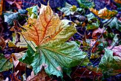 Dry leafed maple leaf on the grass. A colored fallen leaf in an autumn park royalty free stock images
