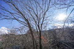 Dry and leafless trees in winter. With blue sky stock photos
