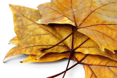 Dry Leafs Royalty Free Stock Photos