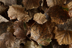Dry leafs Stock Photography