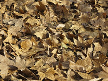 Dry leafs background Royalty Free Stock Images