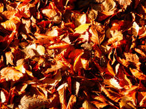 Dry leafs on ground. Color macro photography of dry autumnal leaves on ground Stock Images