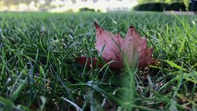 Dry leafs sway in green grass on windy day. Dry leafs lie down in green grass on windy day - slow motion, shot on mobile phone stock video
