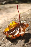 Dry Leave. Stock Image