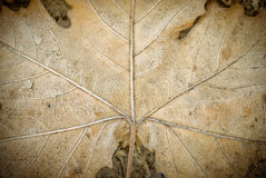 Dry leave texture Royalty Free Stock Photography