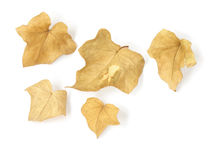 Dry leaves - 1. A set of five dry ivy leaves, with natural shadows on white background Royalty Free Stock Photo
