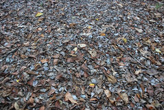 Dry leaves. The floor of a forest is covered with dry leaves and mud Stock Images