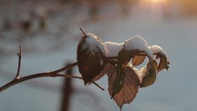 Dry leaves against a background of bright sun in winter. slow motion video.  stock video
