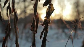 Dry leaves against a background of bright sun in winter. slow motion video.  stock video footage
