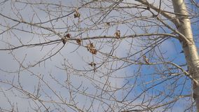 Dry leaves on the aspen sways in the wind stock footage