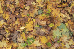 Dry leaves at autumn Royalty Free Stock Image
